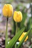 Tre gula tulpan i trädgården Royaltyfri Foto