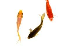 Tre guldfisk, guling, svart och rött Arkivfoto