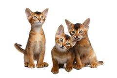 Tre gullig Abyssinian Kitten Sitting på isolerad vit bakgrund arkivbild