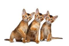Tre gullig Abyssinian Kitten Sitting på isolerad vit bakgrund Fotografering för Bildbyråer