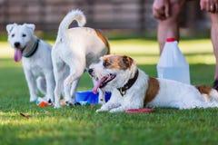 Tre gullig präst Russell Terrier Royaltyfri Bild