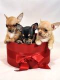 Tre gulliga Chihuahuavalpar i en röd gåvaask Arkivfoto