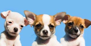 Tre gulliga chihuahuavalpar i rad Royaltyfria Bilder