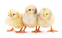 Tre gulliga fågelungar Arkivfoton