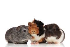 Tre gulliga försökskaniner som ser i olika sidor Royaltyfria Bilder