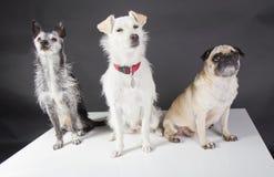 Tre gulliga hundkapplöpning Royaltyfria Foton