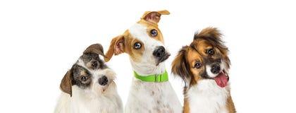 Tre gulliga hundkapplöpning som vippar på huvud som framåtriktat ser royaltyfri fotografi