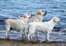 Tre gulliga labradors vid havet Royaltyfri Fotografi