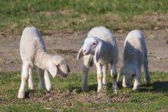 Tre gulliga lamm på fält Royaltyfria Foton