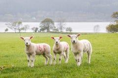 Tre gulliga lilla lamm på en rad Royaltyfria Bilder