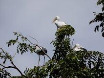 Tre hägerfåglar står på trädet Fotografering för Bildbyråer