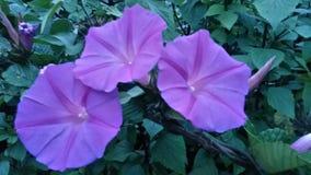 Tre härliga blommor i en buske Arkivfoto