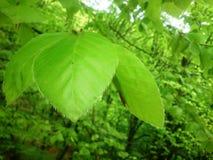 Tre härliga gröna sidor av en bokträd royaltyfria foton