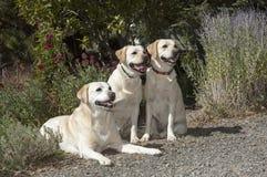 Tre härliga labb som poseras i en härlig trädgård royaltyfri bild