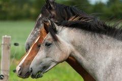 Tre hästar av en olik färg Arkivfoto