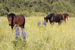 Tre hästar i ängen med trädgårdlupin i förgrund fotografering för bildbyråer