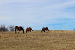 Tre hästar i gräset Arkivfoton
