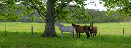 Tre hästar i skuggan i ett fält på den stora nordliga vägen mellan Wisemans färja och Bucketty, Yengo nationalpark, NSW, arkivfoton