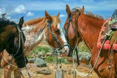 Tre hästar som är klara att ridas fotografering för bildbyråer