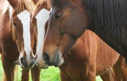 Tre hästar som tillsammans står Royaltyfri Bild