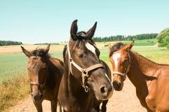 Tre hästar.  Stående. Arkivfoto