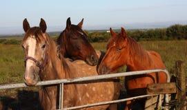 Tre hästar vid en port royaltyfria foton