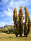 Tre högväxta poppelträd i höstfärger Fotografering för Bildbyråer