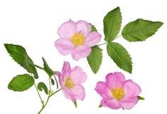 Tre hanno isolato i fiori rosa del rovo con le foglie verdi Fotografia Stock Libera da Diritti