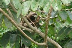 Tre hanno piantato il bradipo di traverso che riposa sopra un ramo vicino alla casetta della torre del baldacchino, Panama Fotografia Stock Libera da Diritti