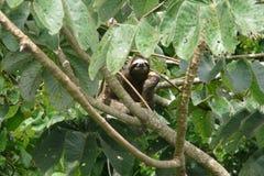 Tre hanno piantato il bradipo di traverso che riposa sopra un ramo vicino alla casetta della torre del baldacchino, Panama Immagine Stock Libera da Diritti