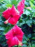 Tre hibiskusblommor Arkivbilder
