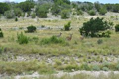 Tre hjortar för vit svans Arkivfoton