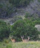 Tre hjortar för vit svans Royaltyfri Bild