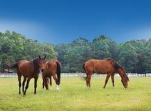 Tre hästar Royaltyfri Foto