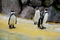 Tre Humboldt pingvin som framme står av stenväggen i zoo royaltyfria bilder