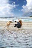Tre hundkapplöpning Arkivbild
