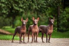 Tre hundkapplöpning av Xoloitzcuintli föder upp, mexikansk hårlös hundkapplöpning som utomhus står på sommardag Royaltyfri Bild