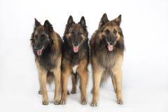 Tre hundkapplöpning, belgisk herde Tervuren som isoleras på vit studiobakgrund Arkivbilder
