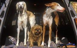 Tre hundkapplöpning i baksida av bilen, Alexandria, Washington, DC arkivbilder