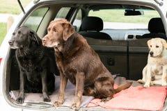 Tre hundkapplöpning i en bil Fotografering för Bildbyråer