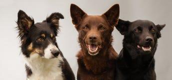 Tre hundkapplöpning i studio royaltyfri foto