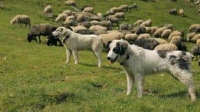 Tre hundkapplöpning som bevakar flocken av får arkivfilmer