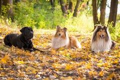 Tre hundkapplöpning som ner ligger på höstskog arkivfoto