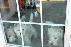 Tre hundkapplöpning som ut ser fönstret med tegelplattagolvvisning bak dem royaltyfria foton