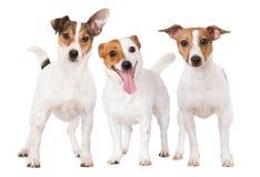 Tre hundkapplöpning för stålarrussell terrier tillsammans på vit Arkivfoto