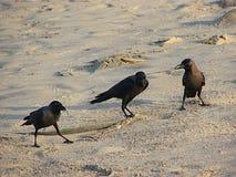 Tre husgalanden eller indiersvartgalanden - corvusen Splendens - som står på sand Royaltyfri Foto