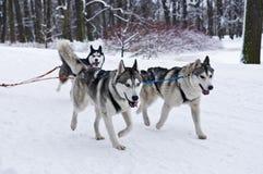 Tre Husky Dogs Pulling Sled Royaltyfri Bild