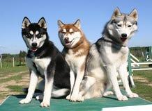 Tre huskys Immagini Stock