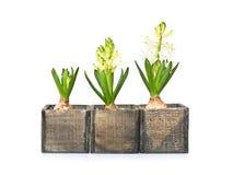 Tre hyacinter på olika etapper av tillväxt Arkivbilder