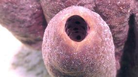Tre ippocampi pigmei rosa su corallo gorgonian archivi video